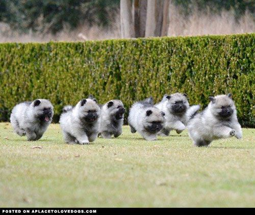 Keeshond Puppies • from APlaceToLoveDogs.com • dog dogs ...
