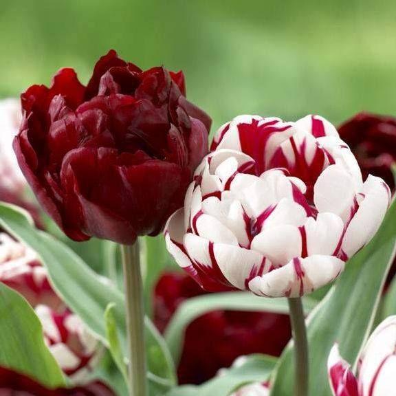 A beleza em vermelho e branco