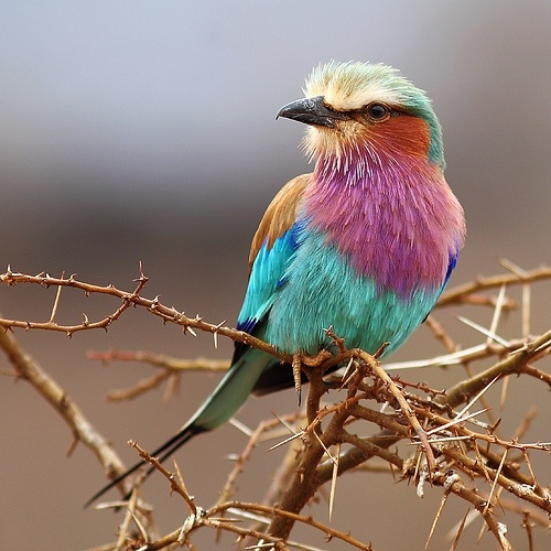 I couldn't decide what colour to wear today, so I took all .  Lilac-breasted Roller / Gabelracke Gabelrake (Coracias caudata)   Tsavo West N.P., Kenya, Africa