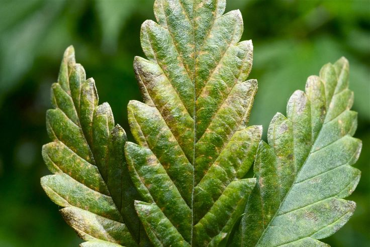 Tobacco Mosaic Virus may be the real cause of your marijuana plants problems.