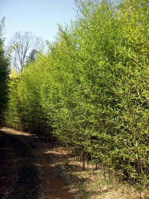 Phylllostachys Aurea 'Golden Bamboo' excellent screen