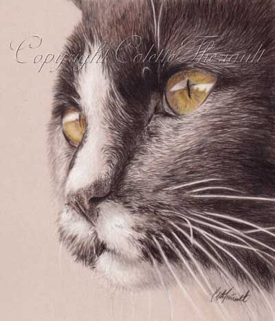 Domestic Cat Drawing-colored pencil drafting film by Sudbury Animal Artist Colette Theriault