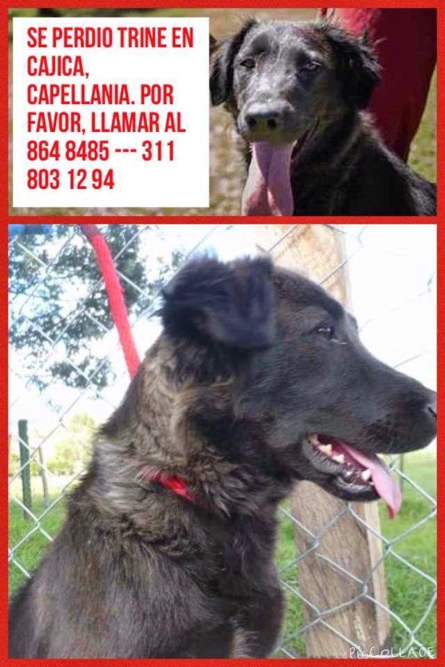 SOS Animal!!!!! Se escapó TRINE Vivatmine del sitio, donde sus padrinos la habían dejado ayer en adopción. Alerta máxima entre Tabio y CAJICA. Se perdió en la vereda Capellania, Cajica, en la noche del 10 de Enero. Por favor, si la ven, cogerla y llamarnos!!!! INFO: 864 8485 --- 311 803 12 94
