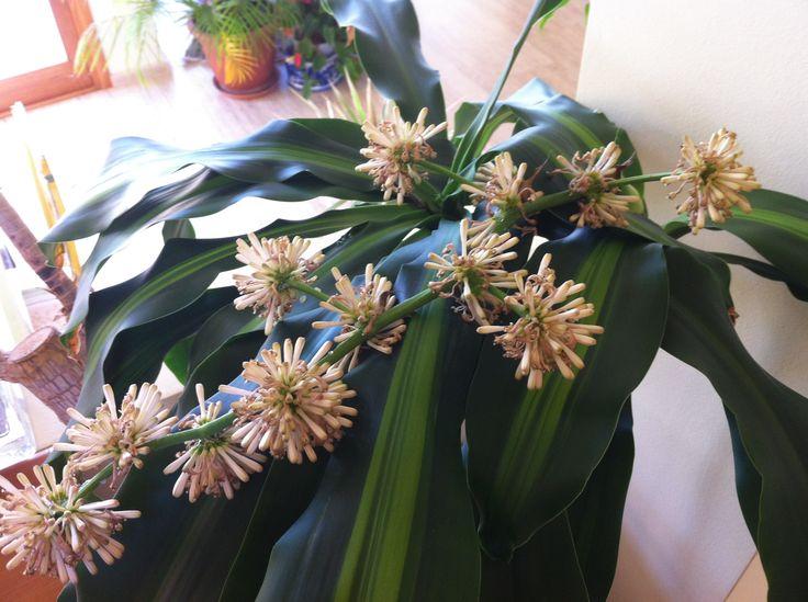 Flor de tronco del brasil ¡Que aroma!