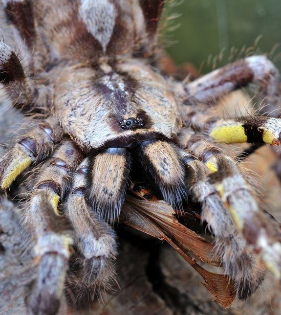 11 Best Indian Ornamental Tarantula Images On Pinterest