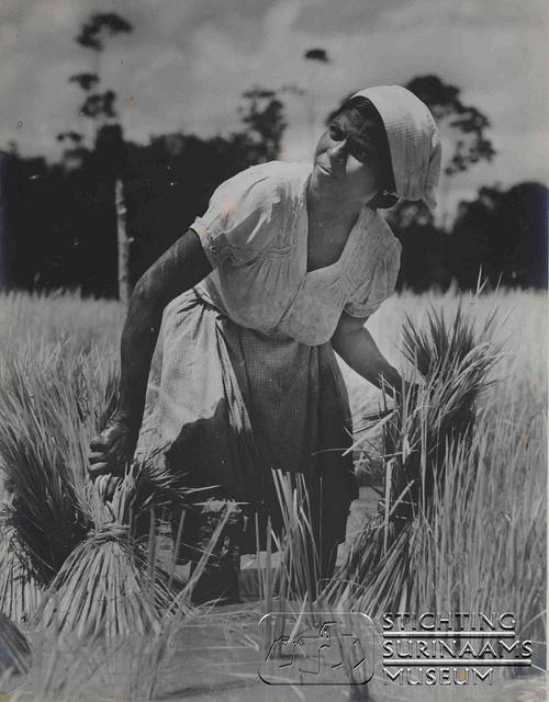 Foto van een Hindostaanse vrouw bij het overplanten van biebiet, jonge rijstplantjes.    Datum:  Locatie: Suriname  Vervaardiger: Chin A Moei  Inv. Nr.: 11-20  Fotoarchief Stichting Surinaams Museum