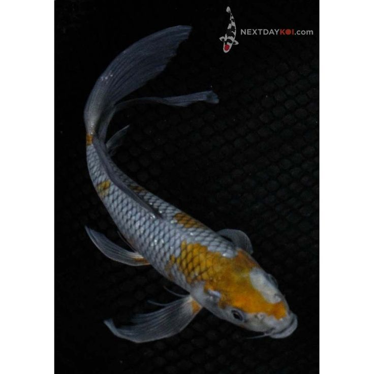 17 best images about koi madness on pinterest color for Koi fish for sale