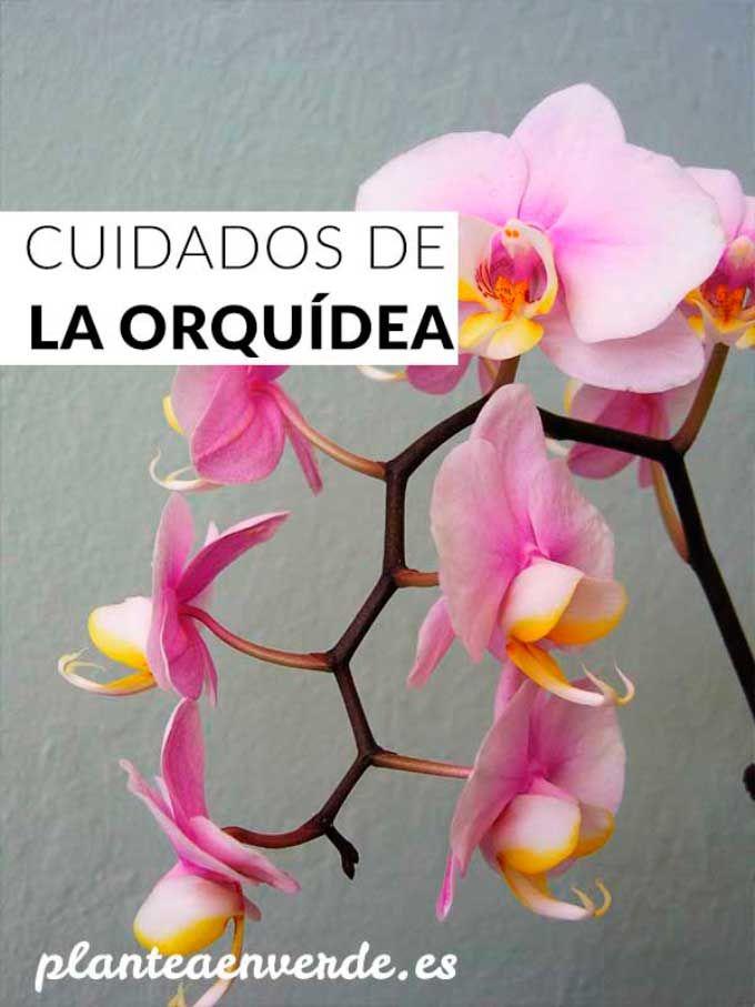Cuidados básicos de la orquídea Phalaepnopsis, trucos y consejos para mantenerla sana La Orquídea Phalaepnopsis es una de las plantas de interior más conocidas y populares, sin embargo, sus cuidados y necesidades son un misterio para muchos ¿Quién no se ha preguntado por qué esa orquídea que mostraba sus flores con orgullo en su día …