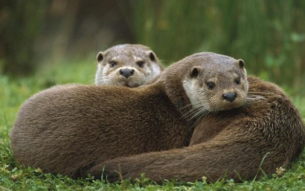 Animal de Poder Símbolo De Energia Primal Feminina e da Fidelidade A medicina da lontra