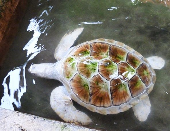 Sea turtle, leucistic