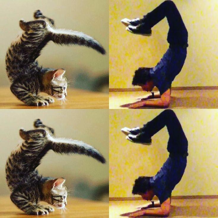 #サソリのポーズ #vrischikasana  We can learn a great example from animals. Wanna improve like the cat.  サソリのポーズ猫先生みたいにもっと上背部を反らせれるようになりたい  #猫 # # #可愛い #はーと  #ヨガ #ピラティス #ストレッチ #コンディショニング #メンテナンス #体幹 #腹筋 #背筋 #トレーニング #インナーマッスル #コアトレ #くびれ #パーソナル #ボディビルディング #ボディメイク #肉体改造 #筋肉 #マッチョ #abdominal #しゃちほこ