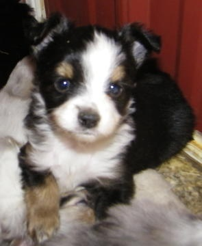 Toy & Teacup Australian Shepherds