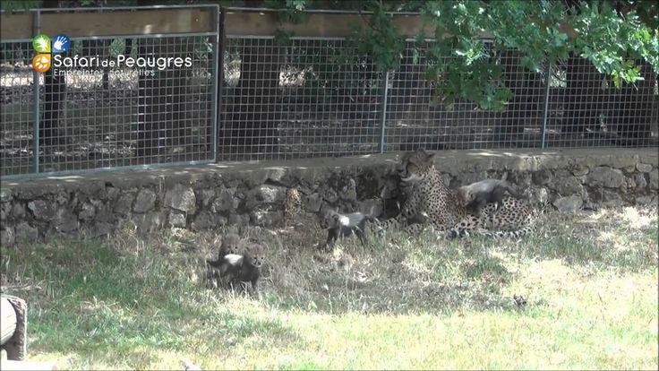 Première sortie des bébés guépards né en mai 2014 au Safari Peaugres