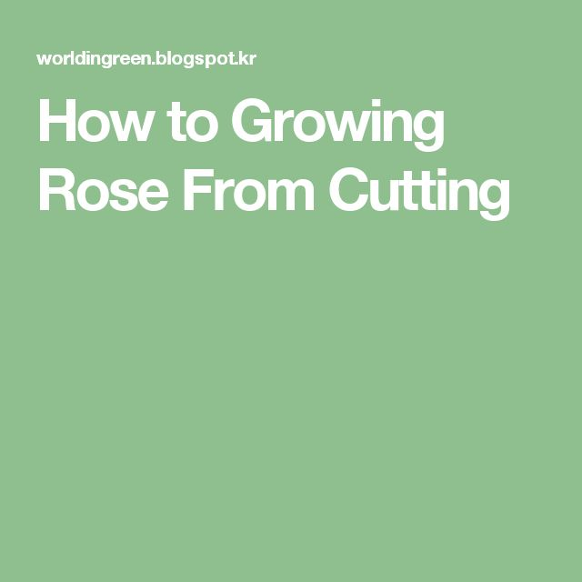How to Growing Rose From Cutting