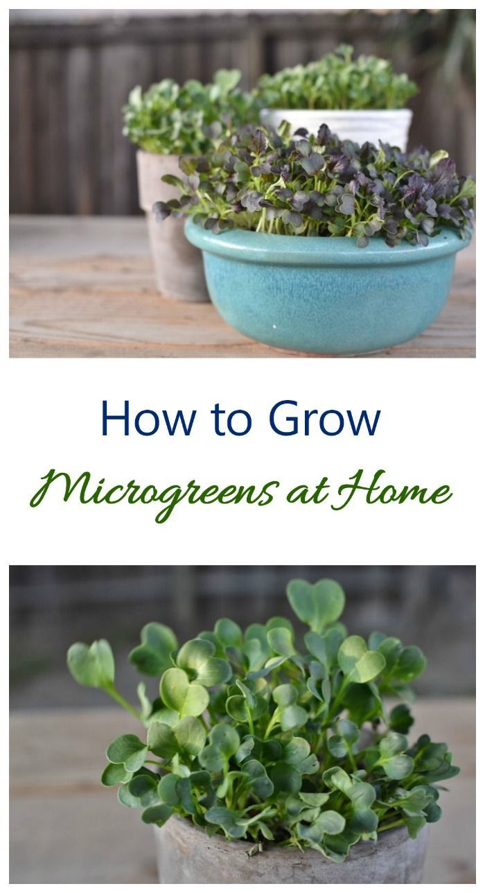 Growing Microgreens – How to Grow Micro Greens at …