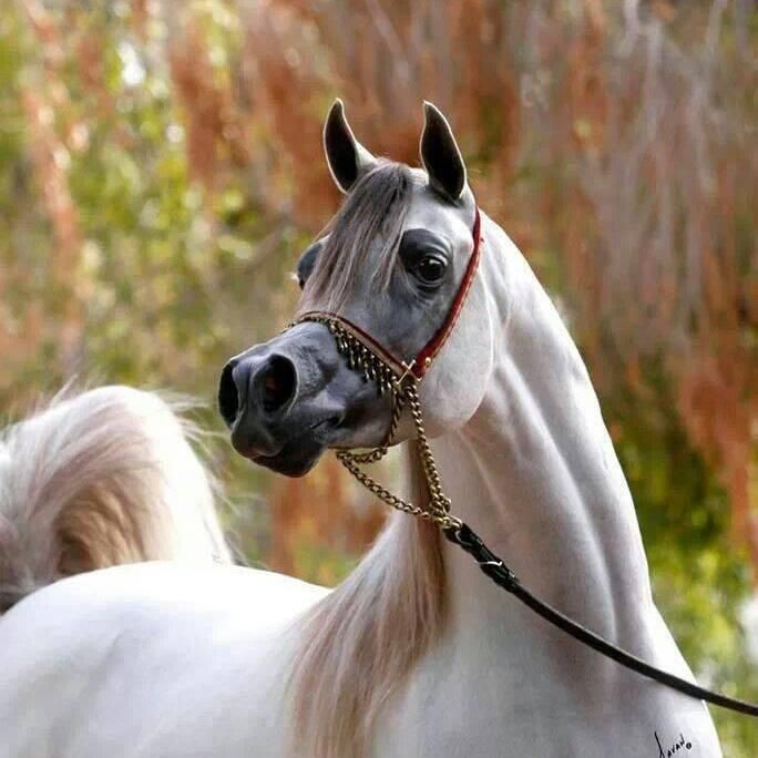 I am not crazy about Arabian Horses. I know it is the ...