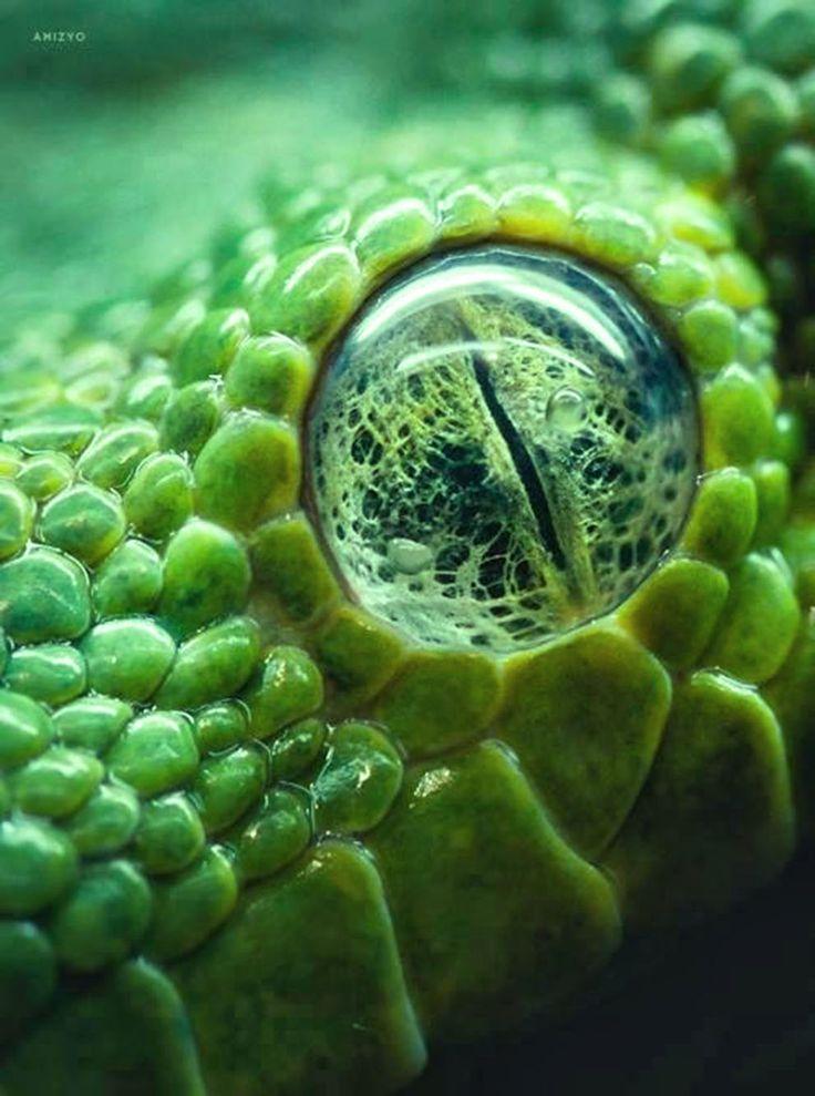 Closeup sobre el ojo de una serpiente pitón arborícola verde - Investigación y Desarrollo