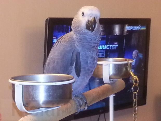 Птенчик -выкормыш алохвостого жако 6 месяцев - Изображение 1