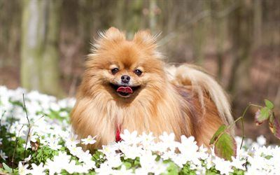 Scarica sfondi Pomerania Spitz, prato, cani, pomerania, foresta