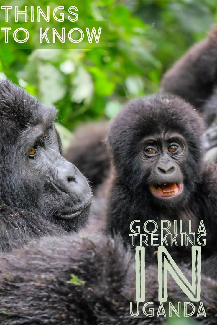 Heading Gorilla trekking in Africa? Here is all you need to know about gorilla trekking in Uganda.