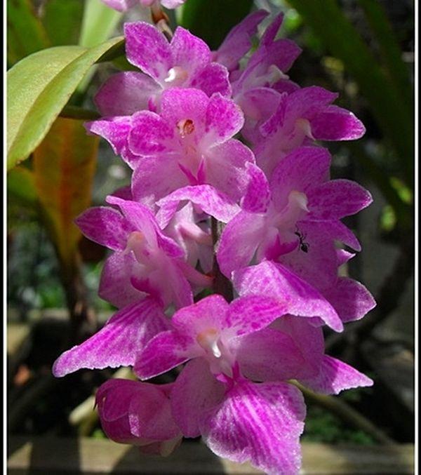 Orchid Plant Aerides krabiensis Species Blooming Size #AchimaOrchids
