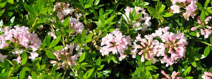 die besten 25 bloombux ideen auf pinterest rosa garten rosa bl hende str ucher und buchsbaum. Black Bedroom Furniture Sets. Home Design Ideas