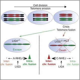Escape from Telomere-Driven Crisis Is DNA Ligase III Dependent