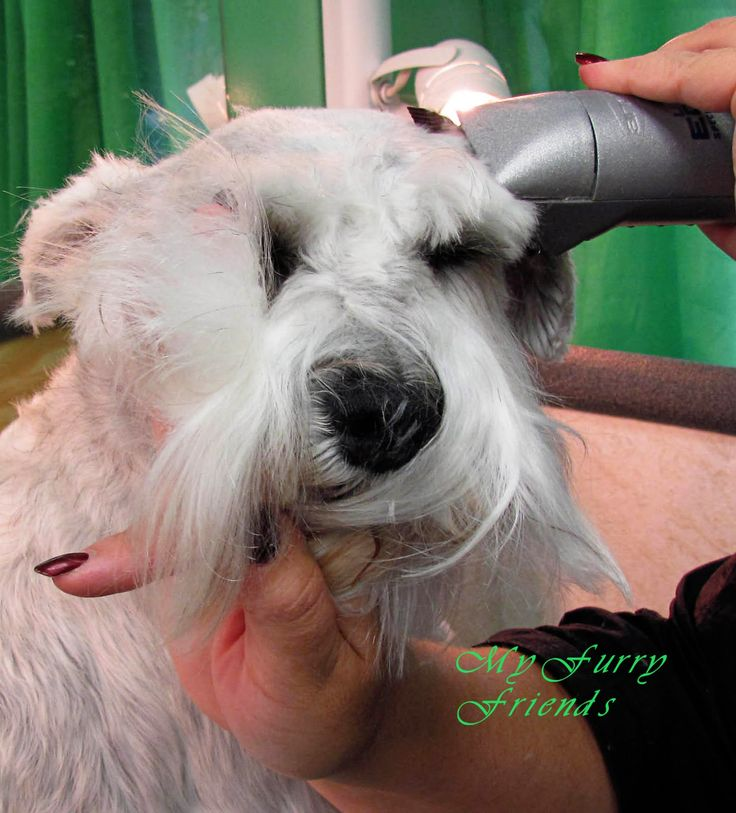 I have not used a #10 or #15 blade on a head (other then a Poodles face) in years. I clip all of my Schnauzer heads with a #7F blade against...