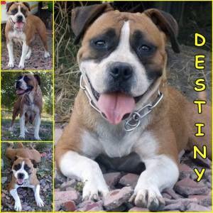 Örökbefogadható kutya: Destiny, Hajdúszoboszló