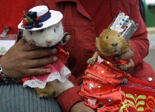 Perus Guinea Pig Festival In Photos: Playing With Your Food