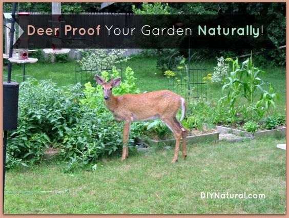 deer proof your garden and yard naturally