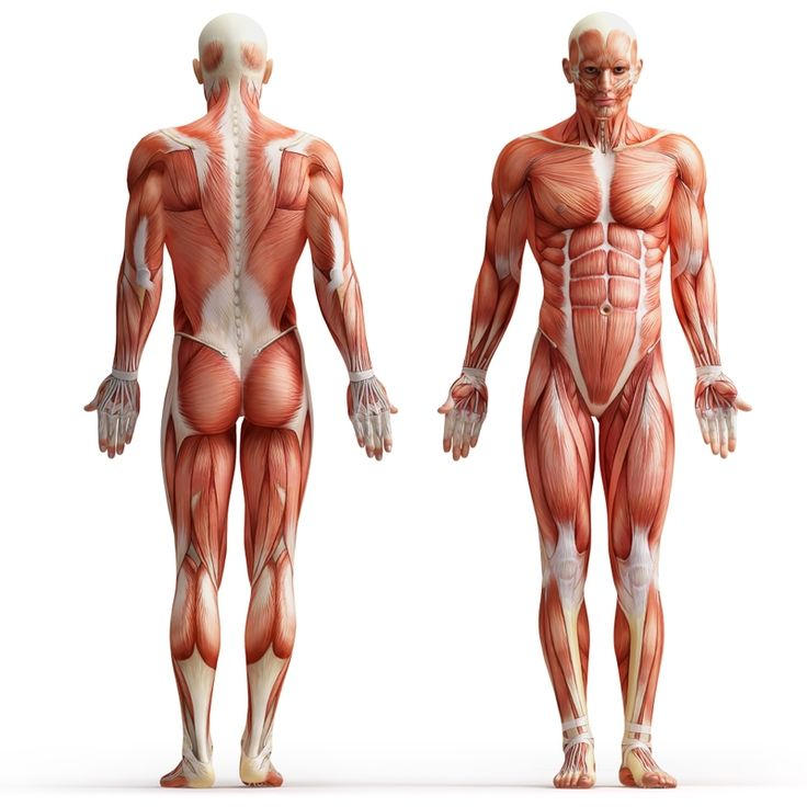 7 best science resources: human body images on pinterest | the, Muscles