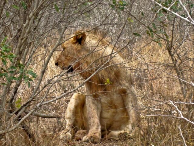 Male Lion taken in Hluhluwe Game Reserve of feeding on a Wildebeeste