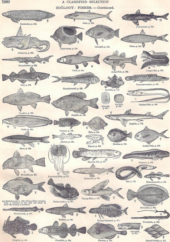 Vintage Zoology Fish Continued Drawings from Dictionary