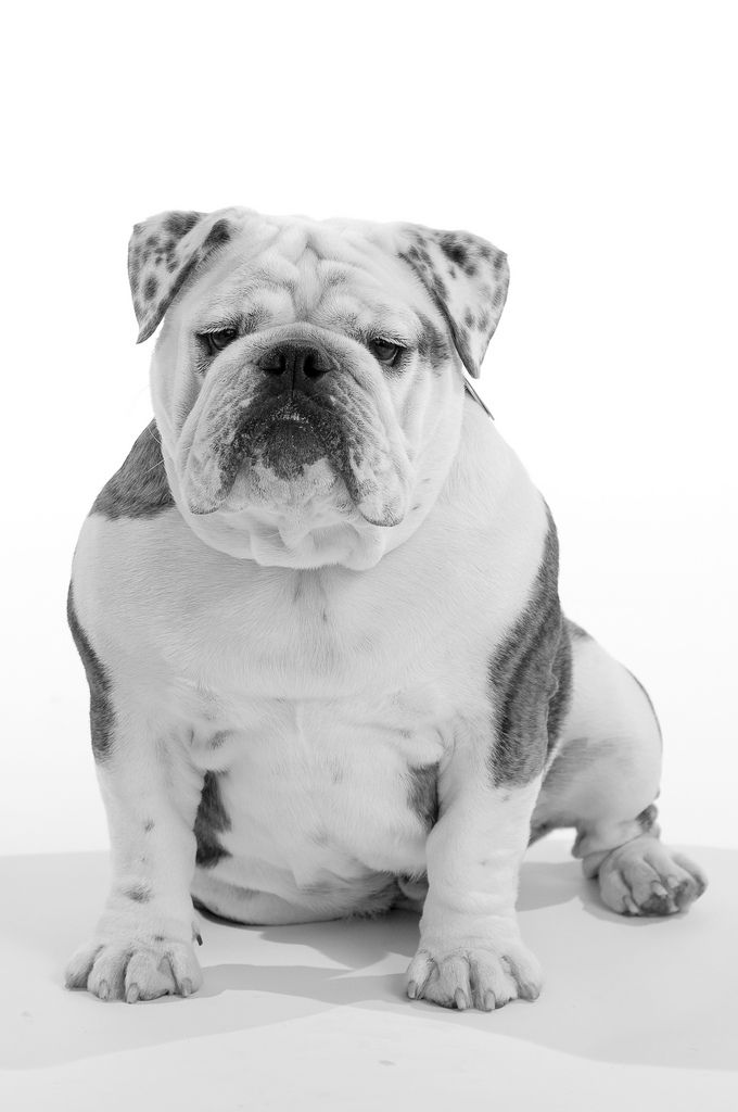 Gus - English Bulldog