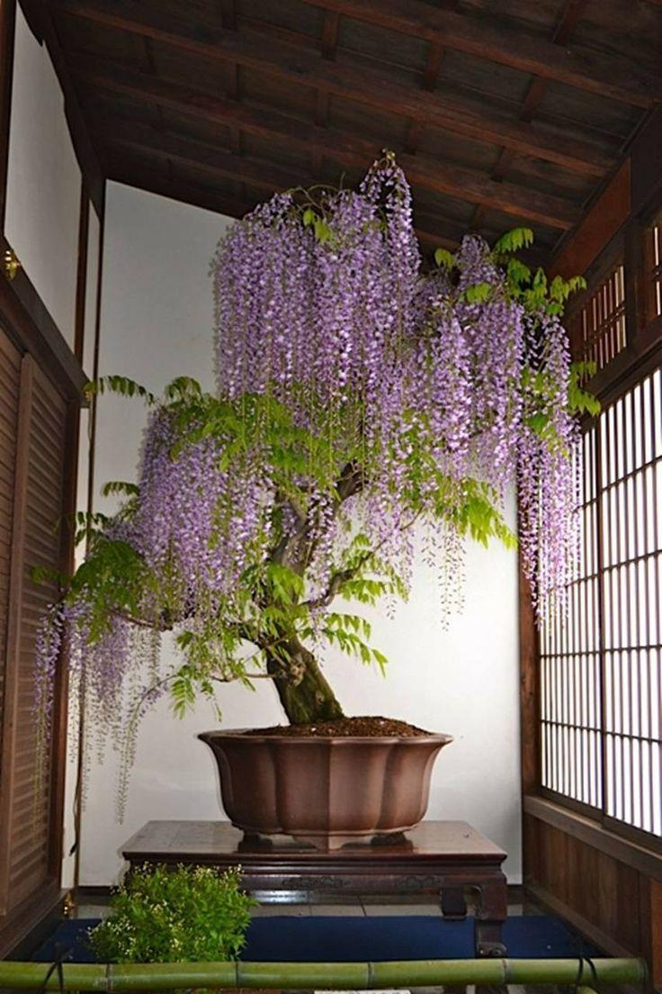 Japanese wisteria bonsai