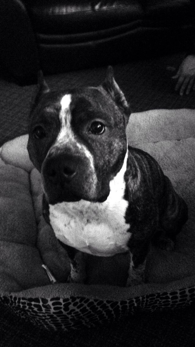 Beautiful gotti pitbull terrier named Jafé <3 Spanish for boss