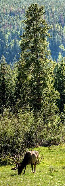 A Bull Elk, Rocky Mountain National Park, Colorado, USA.                                            (Photo By: wboland.)