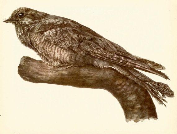 VINTAGE BIRD PRINT Nightjar Bird Illustration Hunting Lodge and Cottage Decor Vintage Animal Print (faf 8)