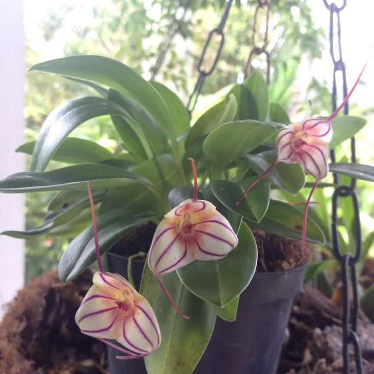 Orquidea miniatura