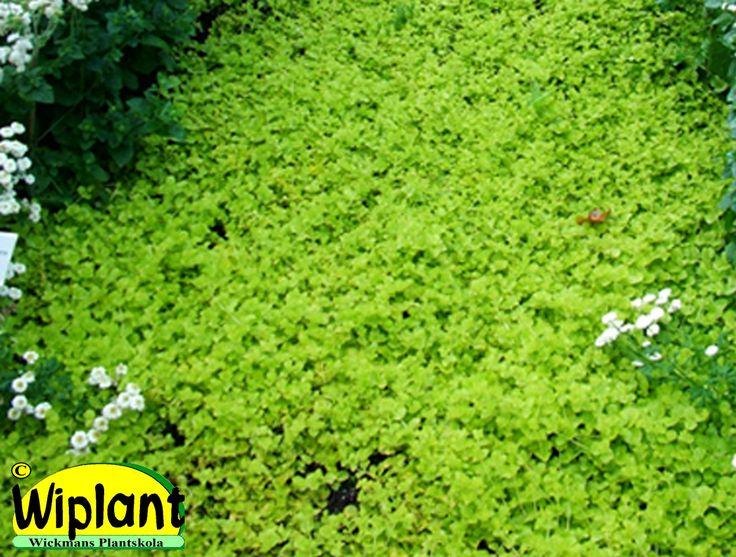 Lysimachia nummularia, penningblad. Snabbväxande. Gula blommor. Läge: sol-skugga.
