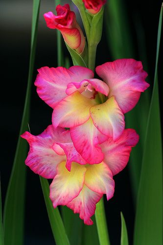 gladiolus https://www.pinterest.com/lahana/flowers/