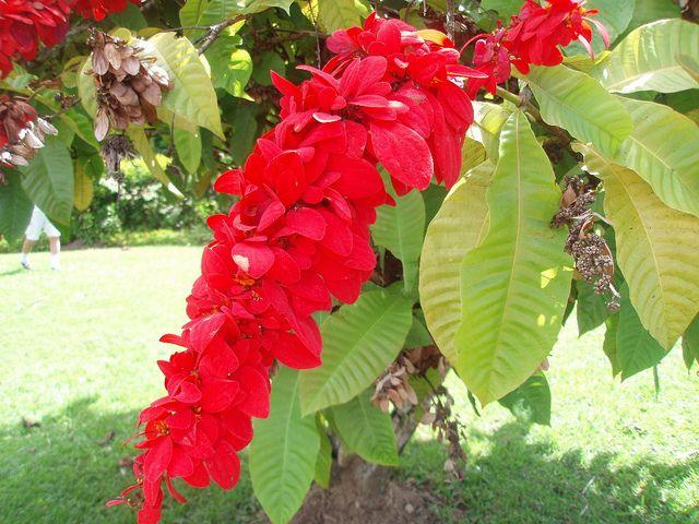 Chaconia Warszewiczia Coccinea Wild Poinsettia Trinidad And Tobago