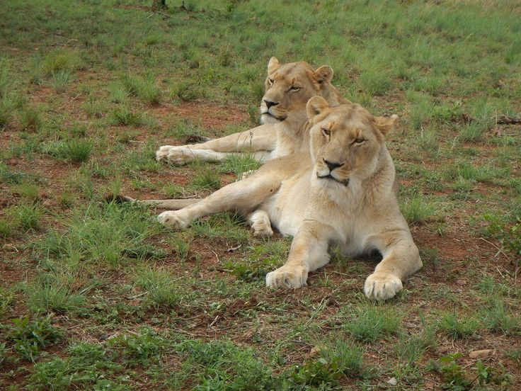south africa animal lions 2