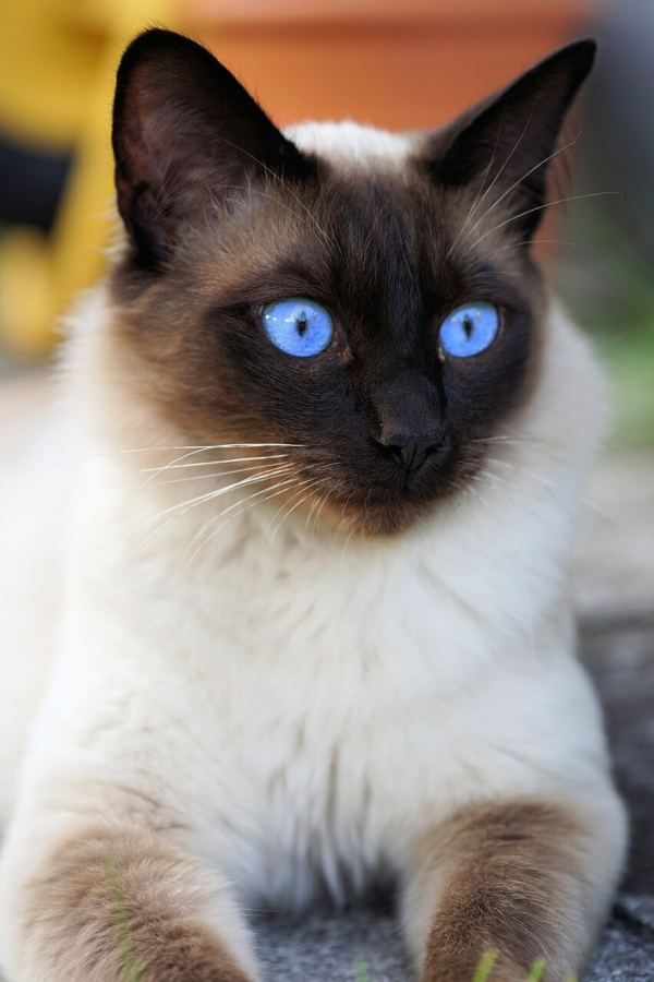 These Special Kittens Will Make You Amazed Cats Are Fascinating Creatures Catsandkittens Siamese Cats Facts Cute Cats And Kittens Pretty Cats