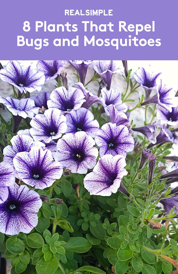 1000 images about how to on pinterest how to remove for Best plants to keep mosquitoes away