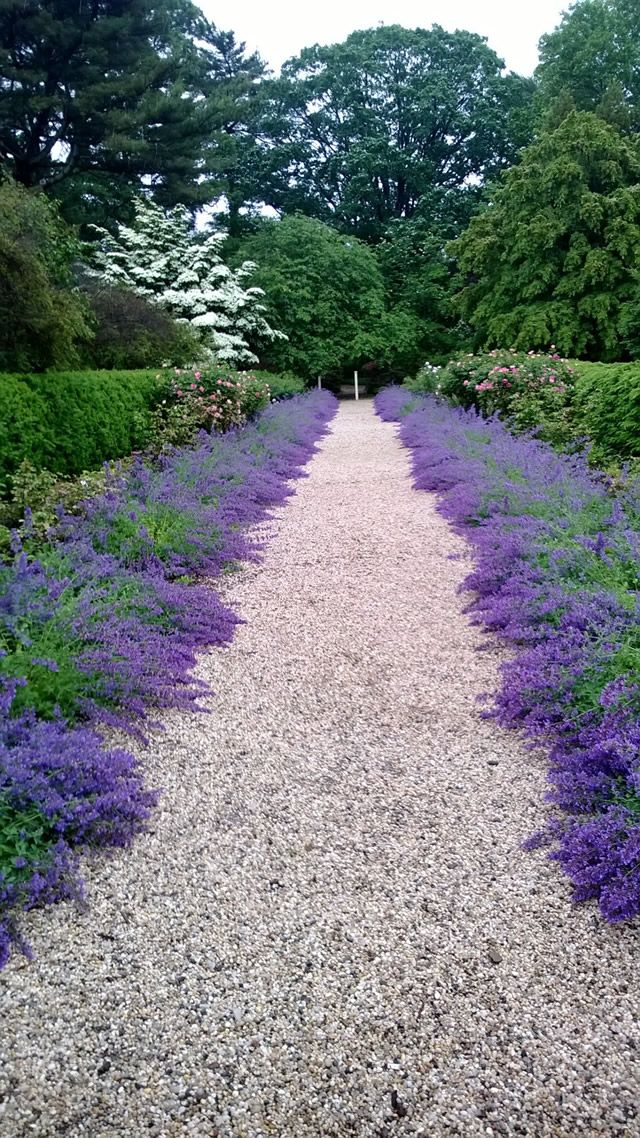 Catmint as path border at driveway A Visit to Planting Fields Arboretum …