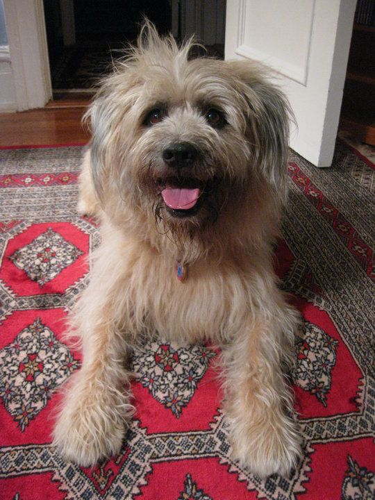This Is My Papageno A Wheaten Terrier Bearded Collie Mix