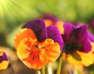 Viola cornuta : floraison, entretien, arrosage