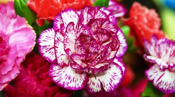 Informasi dan fakta tentang bunga anyelir  - http://www.tokojualbungapapan.com/informasi-dan-fakta-tentang-bunga-anyelir/